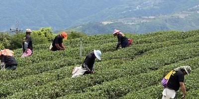 新北茶行推薦,茶葉專賣,新北茶葉批發,鶯歌茶行,茶廠直營