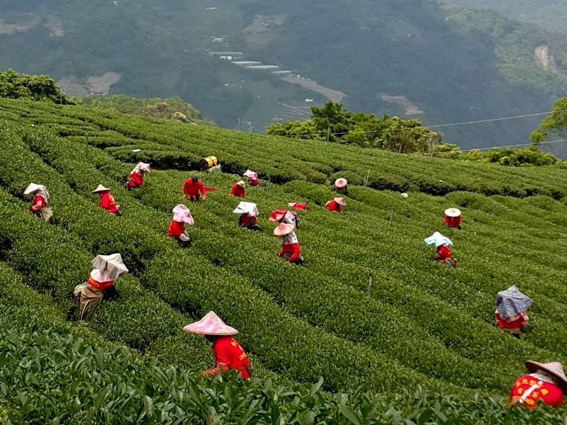 合歡山高冷茶,南投製茶廠,採茶班,茶葉批發,高山茶批發
